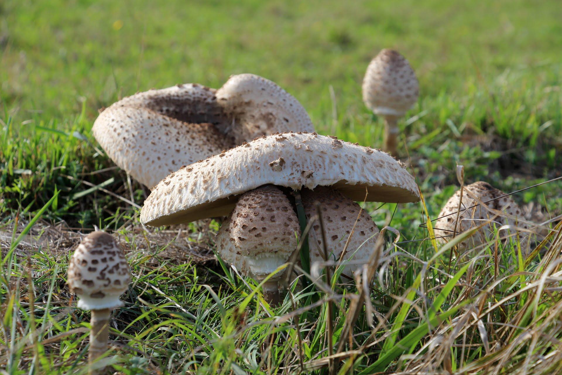 Parasol Mushrooms la Métairie des Songes